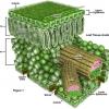 โครงสร้างและหน้าที่ของใบพืช