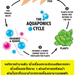 Aquaponics อควาโปนิกส์