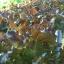 เรคโอ๊ค Red Oak (50 เมล็ด) thumbnail 4