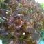 เรคโอ๊ค Red Oak (50 เมล็ด) thumbnail 3