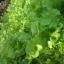 กรีนโอ๊ค Green Oak (50 เมล็ด) thumbnail 4