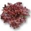 เมล็ดพันธุ์ Red Oak (เคลือบ) 1,000 เมล็ด thumbnail 2