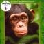 Disneynature: Chimpanzee - ชิมแปนซี ผจญภัยในป่ากว้าง thumbnail 1