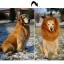 วิกผม แผงคอสิงโต สำหรับสุนัข (White) thumbnail 5