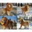 วิกผม แผงคอสิงโต สำหรับสุนัข (White) thumbnail 6