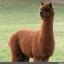 ตุ๊กตาตัว อัลปาก้า - alpaca มีให้เลือก 8 สี thumbnail 4